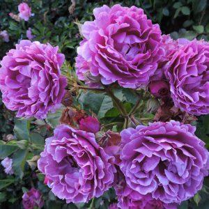 Флорибунда розы