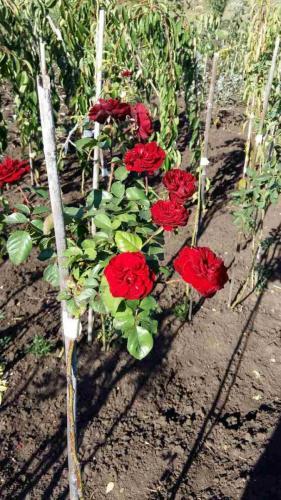Розы и их выращивание